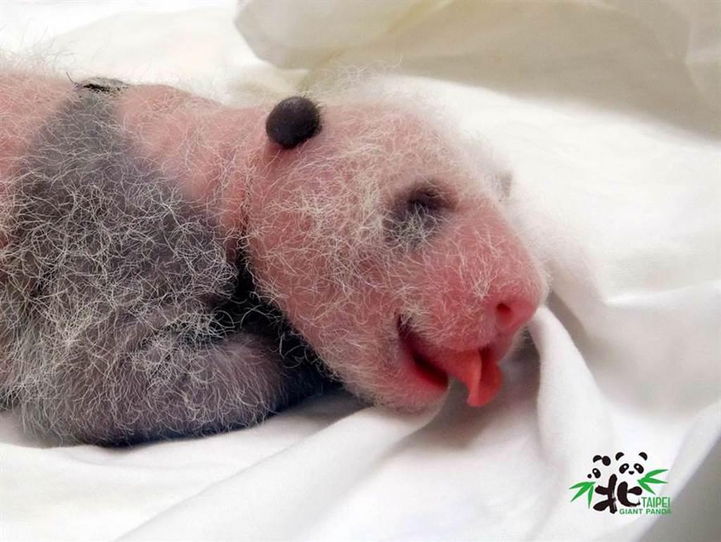圓仔妹12日齡就看到她喝奶時使出「捲舌功」。(圖/台北市立動物園提供)