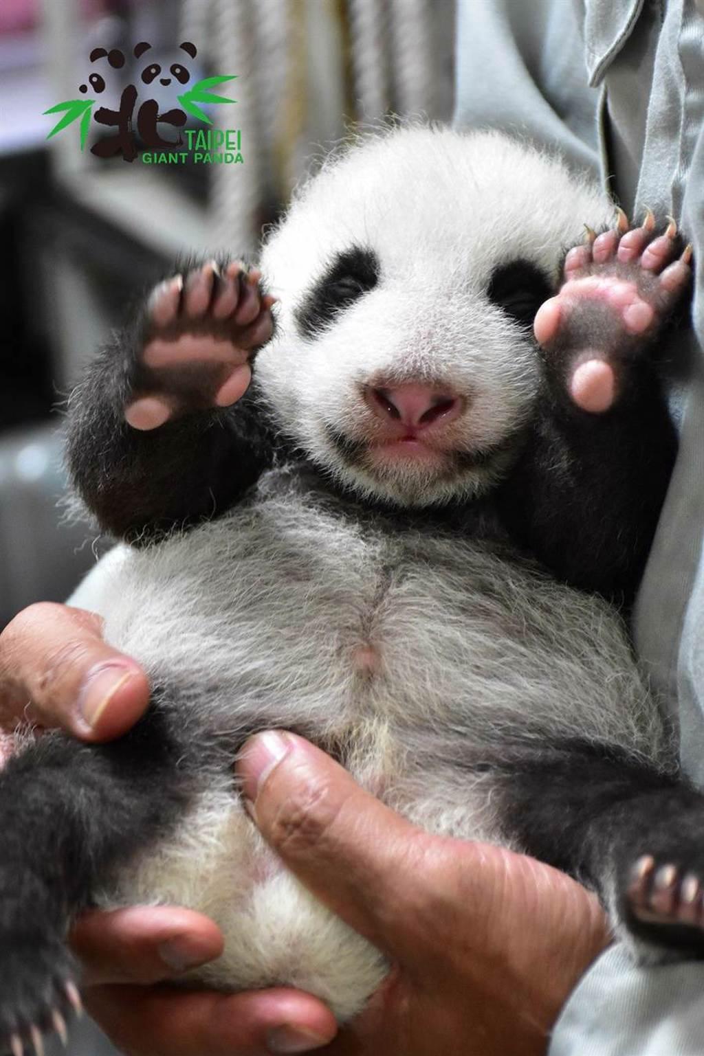 保育員現在要用雙手才能穩穩的抱圓仔妹去量體重。(圖/台北市立動物園提供)