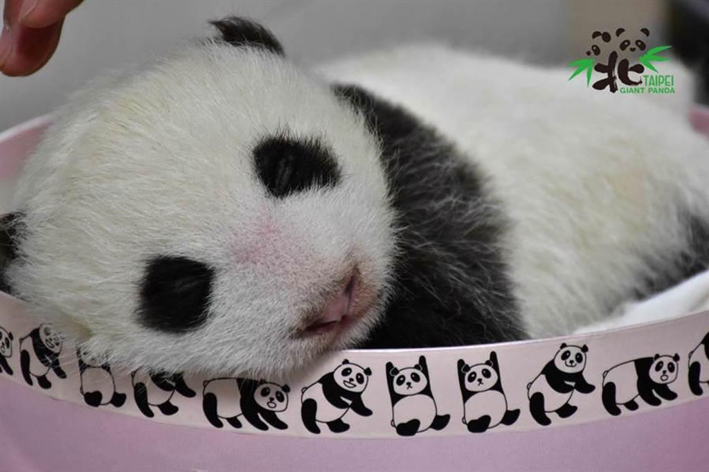 出生38天的圓仔妹,今天(5日)體重是2010.6公克。(圖/台北市立動物園提供)