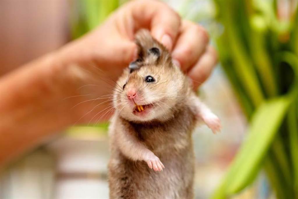 特務黃金鼠「劈腿撐牆」自信爆棚 網笑:湯姆克魯鼠(示意圖/達志影像)