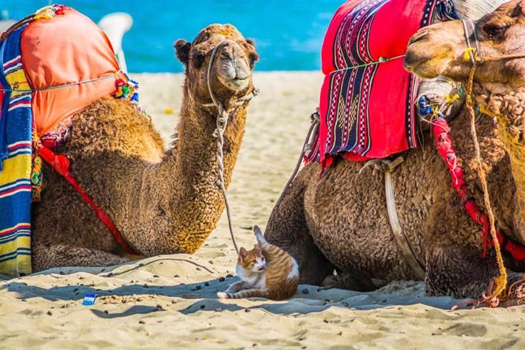 貓咪陪嫁鏟屎官移民阿拉伯 整座沙漠成了遛貓遊樂場(示意圖/達志影像)