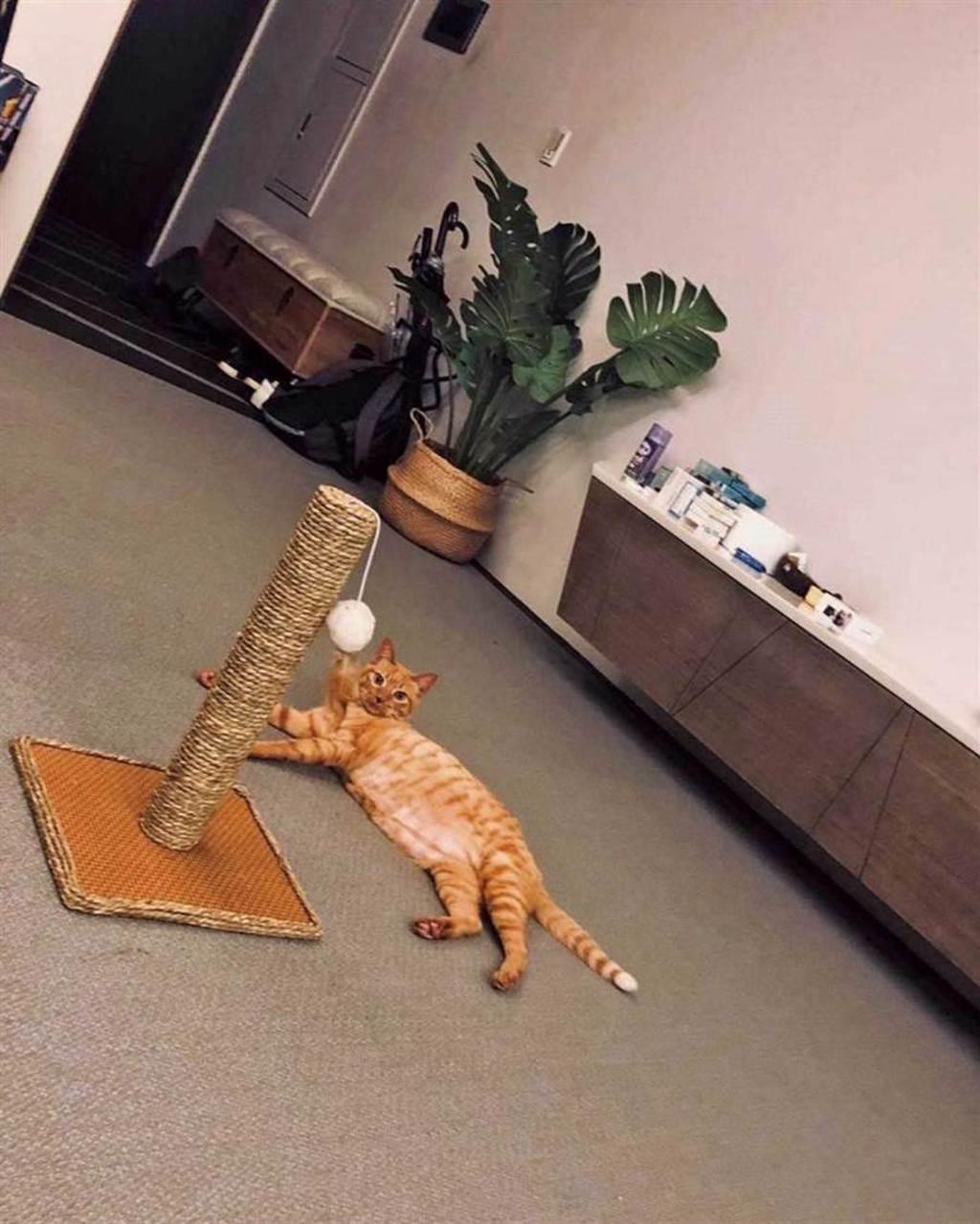 啾啾慵懶躺在地上玩玩具,模樣十分可愛。(圖/齊石傳播提供)