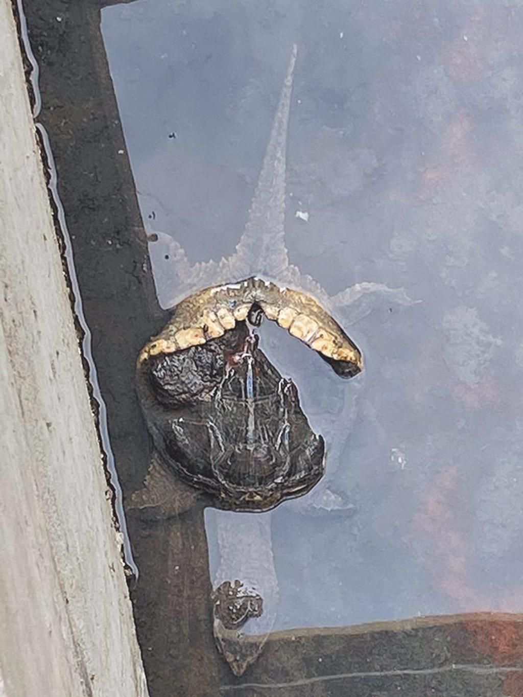 宮前町砌石大溝不時會出現鱔魚、土虱和烏龜悠游,吸引不少人前來觀看這難得的城市景色。(侯力今提供/張立勳台北傳真)