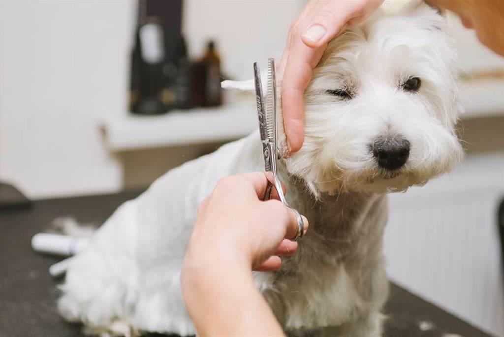 愛犬美容一半遭退回 主人見超潮新髮型笑翻(示意圖/達志影像)