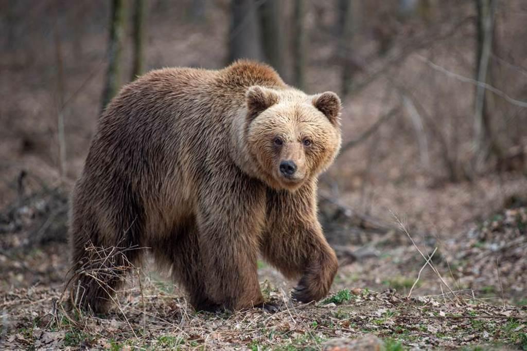 棕熊闖露營區好奇聞腳丫 男嚇壞狂抖結局爆笑(示意圖/達志影像)