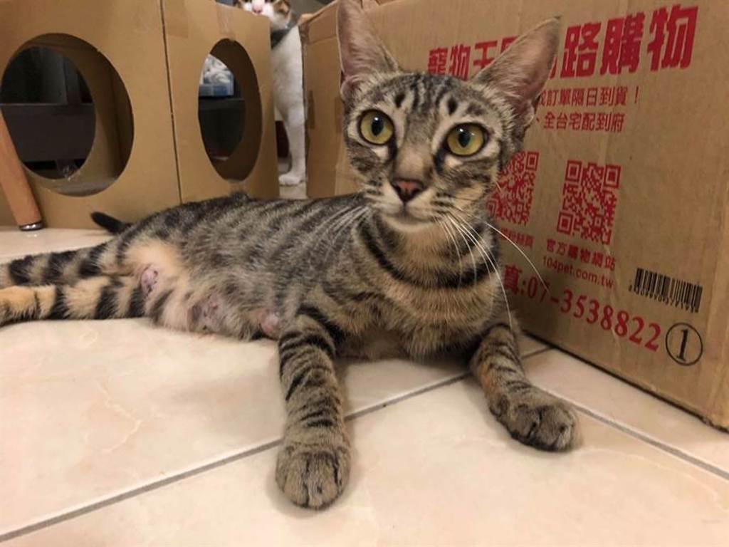 虎斑貓媽媽年僅2歲,個性溫柔親人,可摸可抱,徵求貓奴中。(圖/Wun Chen授權提供,未經許可請勿擅自取用,避免侵權)