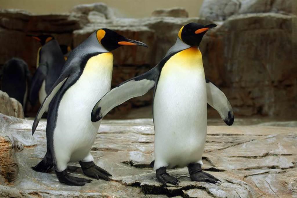 企鵝不玩水消暑直挺定格岸邊 他抬頭見亮點秒懂(示意圖/達志影像)