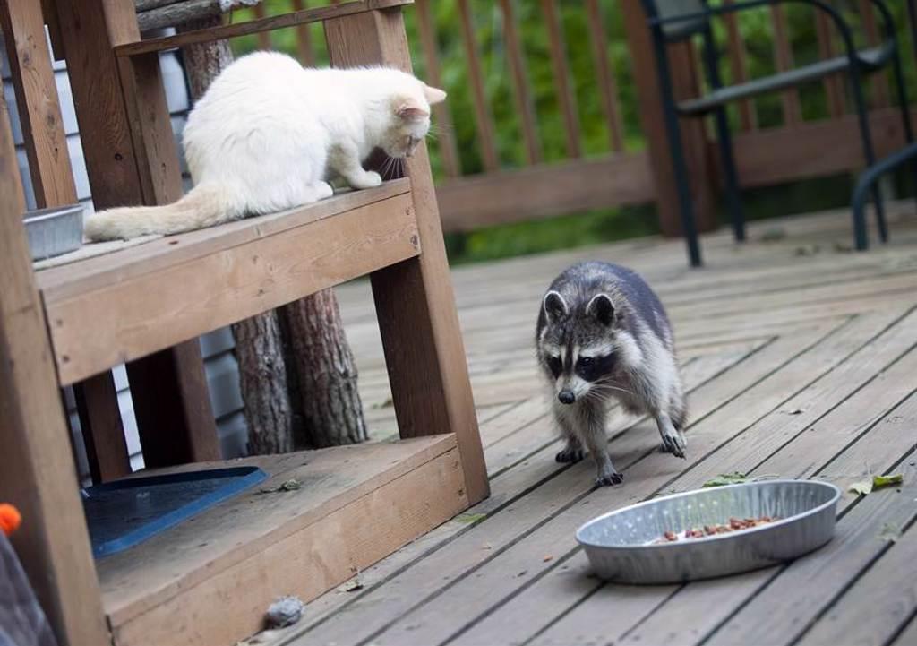 浣熊一直想抱貓,沒想到慘被拒絕,最後使出「泰山壓頂」把貓壓住(示意圖/達志影像)