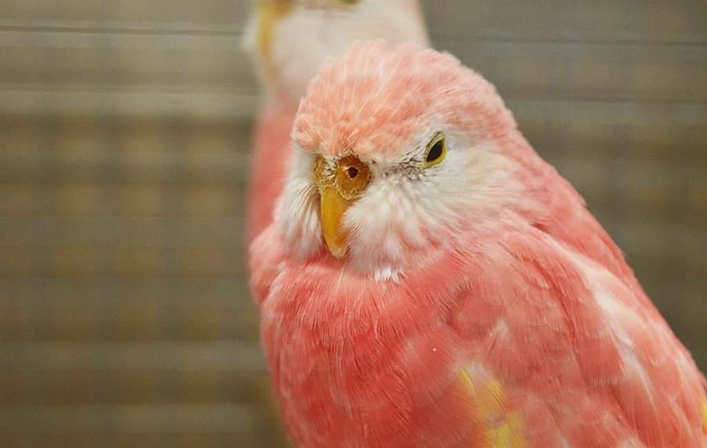 柏克氏鸚鵡擁有超夢幻的粉紅毛色。(圖/達志影像)