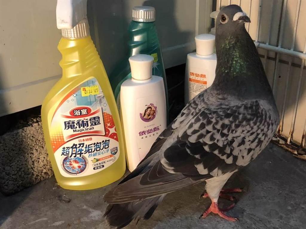 這隻鴿子不怕人,住在民宅裡輕鬆自在。(讀者提供)