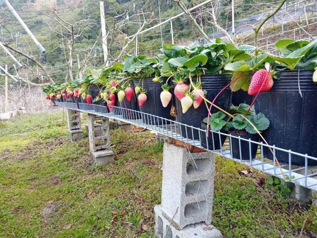 草莓「苗栗1號-戀香」,是目前國內最甜的草莓品種。(圖/苗栗農改場提供)