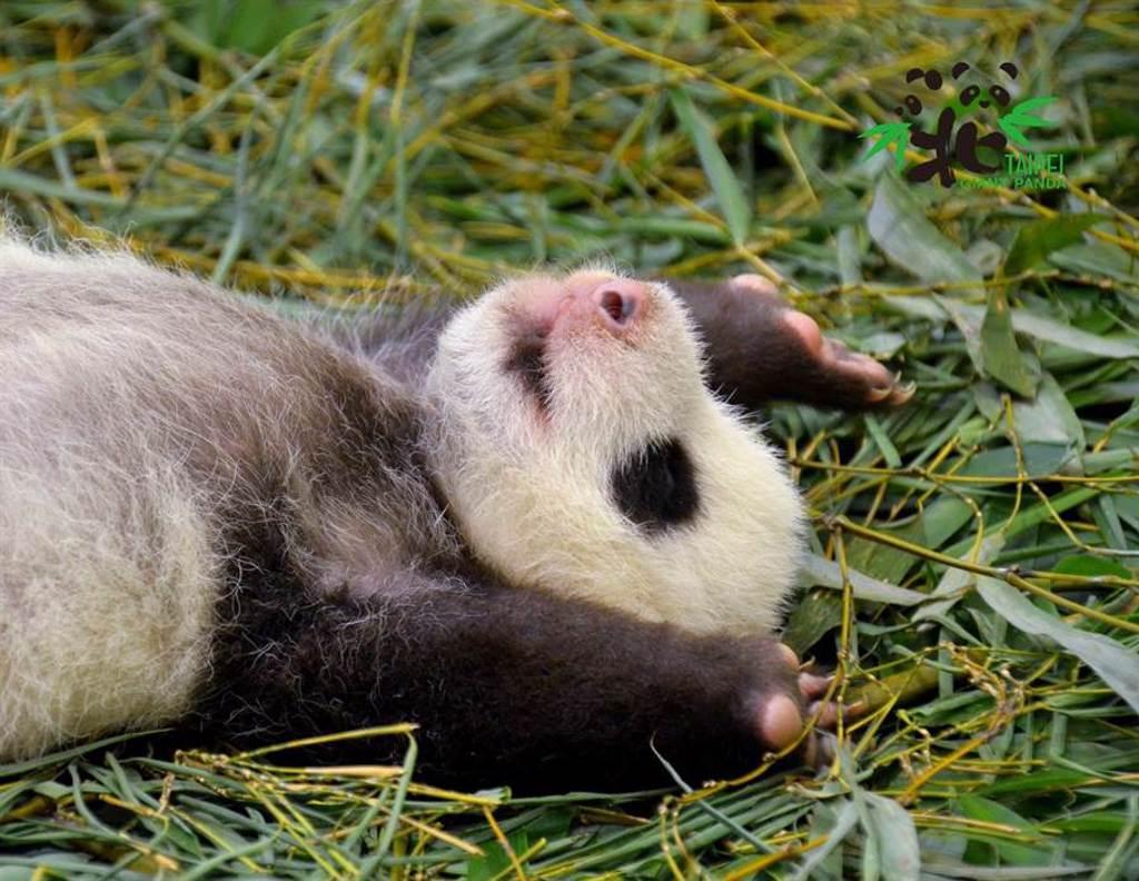 圓仔妹在出生第一個月對環境比較敏感 偶爾會鬧小情緒(圖/臺北市立動物園提供)