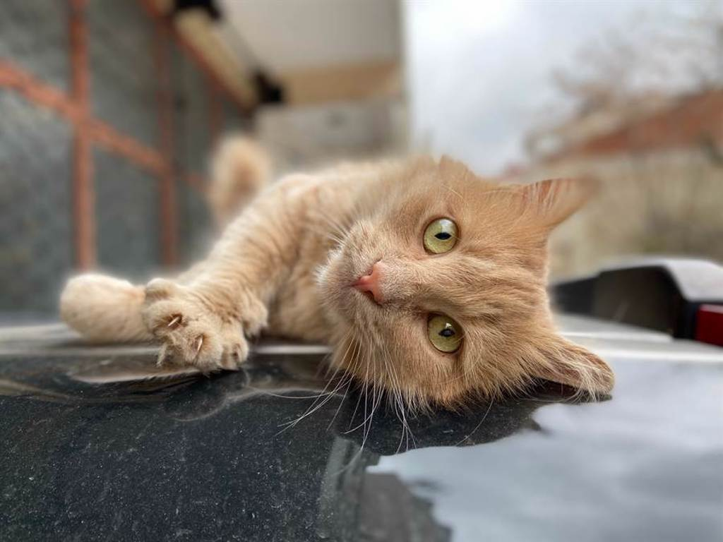 小橘貓根本是吃貨,跑到鄰居家車頂上討食物(示意圖/達志影像)