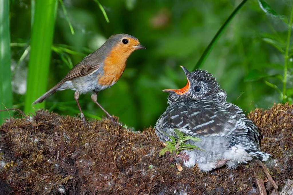 知更鳥媽媽認錯兒,努力餵養殺死自己孩子的布穀鳥(示意圖/達志影像)