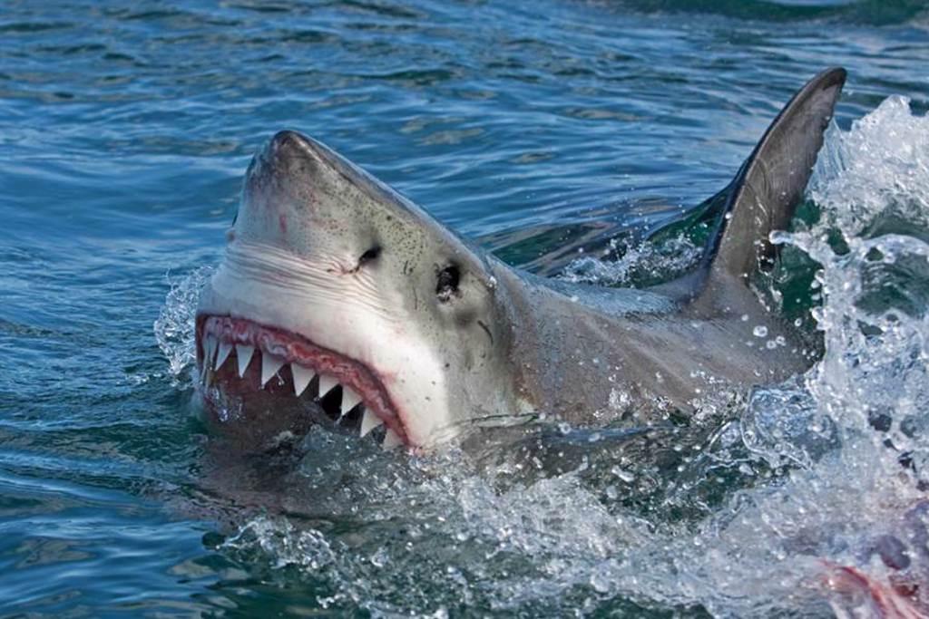 鯊魚為何不獵殺鯨魚?「猛鯊心理學」3點揭密(示意圖/達志影像)