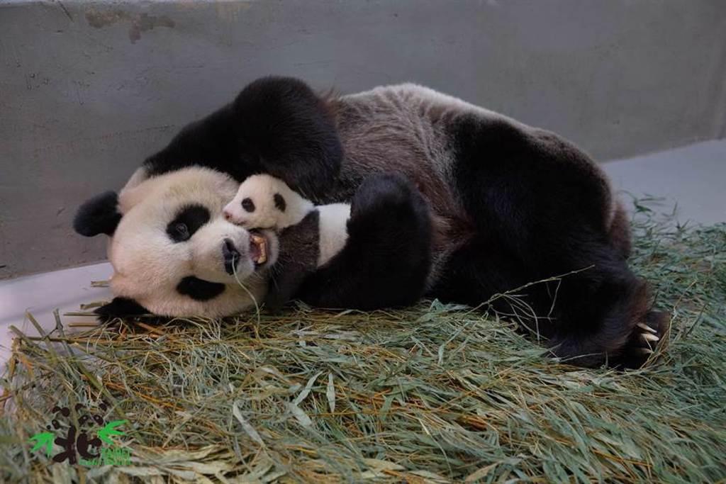 圓圓也是一位超級母親!(圖/臺北市立動物園提供)