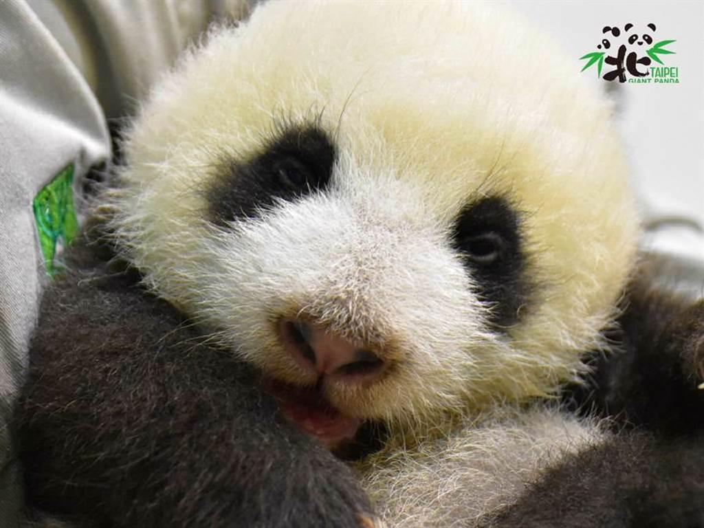 圓仔妹在媽媽的照顧下健康長大(圖/臺北市立動物園提供)