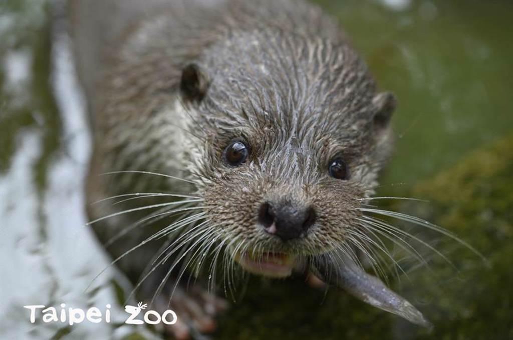 水獺金莎也傳承了媽媽的超級育兒術(圖/臺北市立動物園提供)