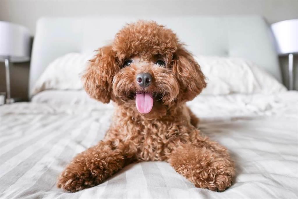 薩摩耶犬倒頭睡,泰迪幼犬下秒竟趴在牠身上一起睡(示意圖/達志影像)