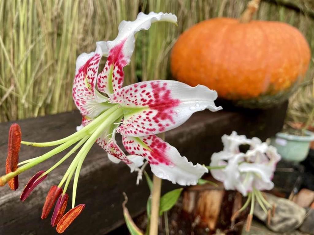 每年8-9月為豔紅鹿子百合的花期,豔紅鹿子百合更被稱為峭壁的精靈,這次在平溪紫東社區,更可以看到它美麗的身影。(吳康瑋攝)