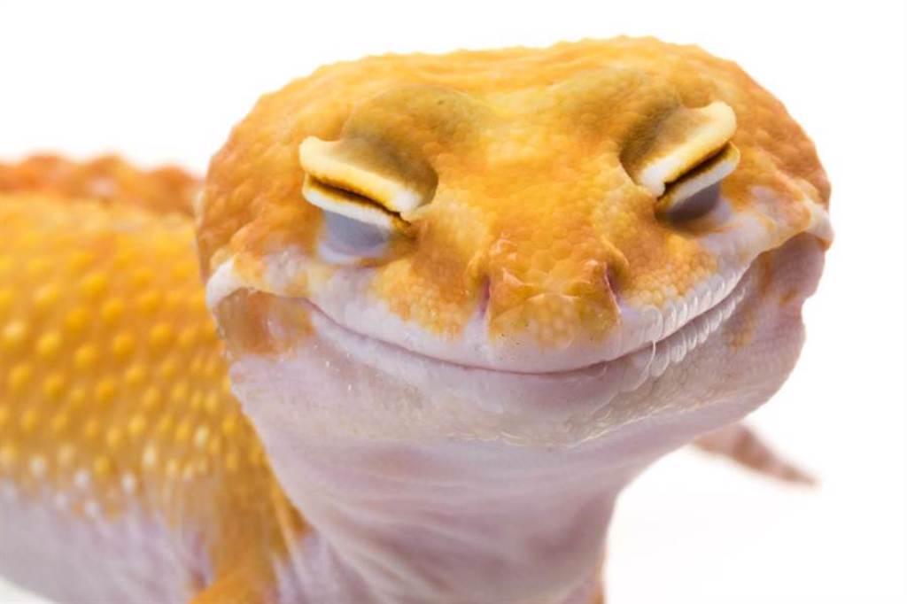 豹紋壁虎天生笑臉 瞇眼憨笑吐舌照療癒31萬人(示意圖/達志影像)