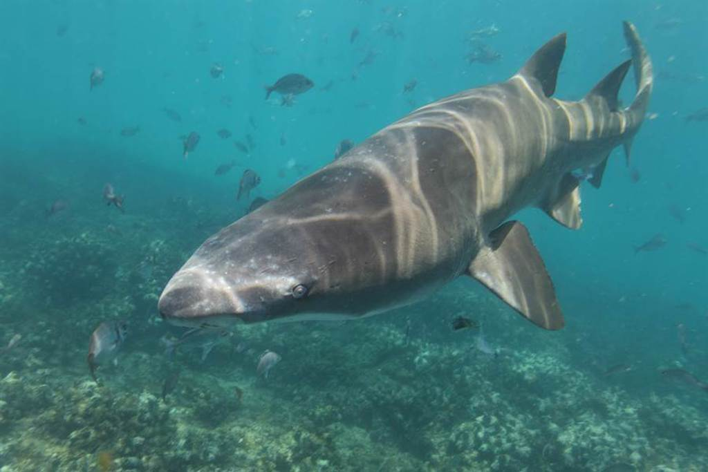 海底火山驚見罕見深海巨鯊 專家驚呼:只出現3次(示意圖,此圖為護士鯊/達志影像)