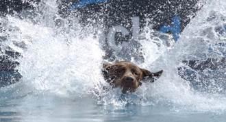 失明汪摔落泳池 同伴衝來「急咬項圈拖上岸」