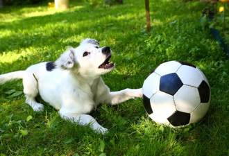 汪星人亂入足球賽被「給紅牌」躺地賣萌耍賴不想走
