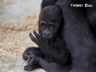 金剛寶寶Jabali還沒抓好被拖著走 掛猩猩媽屁股上眼神死