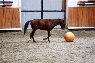 誤會自己是狗?獸醫丟球進獸欄 棕馬竟出現驚人反應