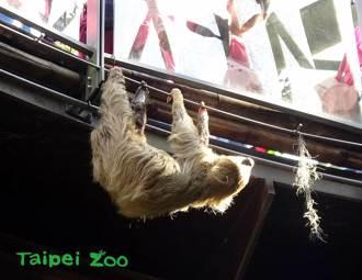 動物園樹獺鑽出欄杆想翹家 動作超慢當場被抓包