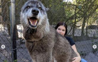 幼犬旋風式長成巨獸 8個月後飼主嚇壞急棄養 揭驚人基因