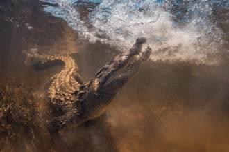 4公尺巨鱷連吞2鯊魚 她近距離目睹發抖嚇壞:我要死了!
