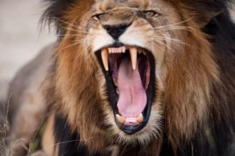 老虎陪狗散步 突遭獅子伏擊猛撲 雪地激戰肉搏