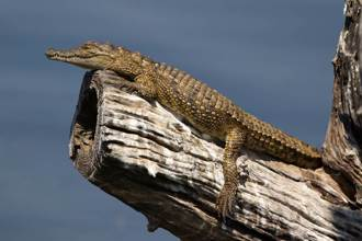 釣魚瞥見樹幹長出猛獸腳 男細看驚巨鱷趴樹上休息嚇傻