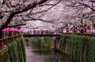衝日本賞櫻搞錯地方? 櫻花竟是這裡傳過去的