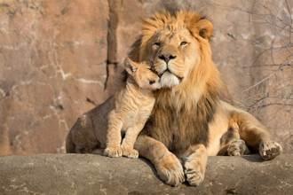 霸氣獅子王帶娃表情超厭世 下秒毛被拔禿痛苦哀號