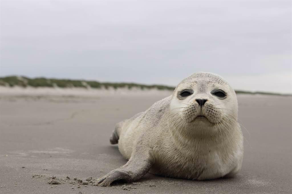 俄羅斯有一隻小海豹被沖上岸,竟被圍觀人群活活嚇死。(示意圖/達志影像)