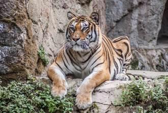 老虎界男高音 兇猛大貓裝萌嚶嚶叫媽媽 歌聲驚呆萬人