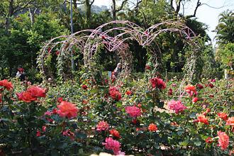 士林官邸玫瑰展開鑼 台北雙「玫」好浪漫