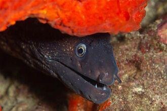 釣到3.6公尺海怪 巨海鰻驚人體型曝光 千人嚇傻