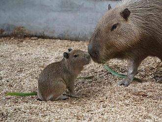 《天笁鼠車車》主角現身臺北市立動物園?
