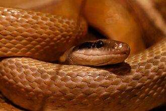 貪吃蛇誤吞石頭蛋 肥肚卡屋頂 警幫催吐解鎖新技能