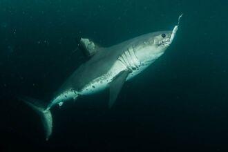 釣客激戰神秘大魚1小時 奮力拉起驚見3公尺巨鯊