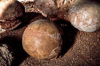 土裡挖到「恐龍蛋」被龜殼包住 專家翻開看驚呼太聰明
