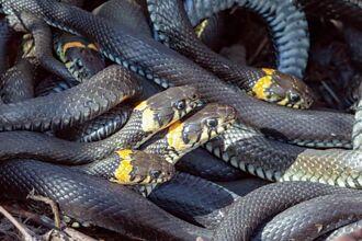 屋頂變成蛇的遊樂園 發現50張蛇皮 連專家也看傻