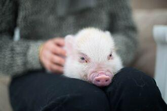 女買可愛小豬當寵物 3年後暴風成長變150kg巨獸