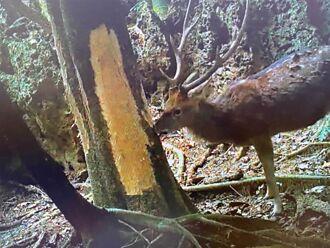 為免梅花鹿破壞森林生態 林試所介入保育