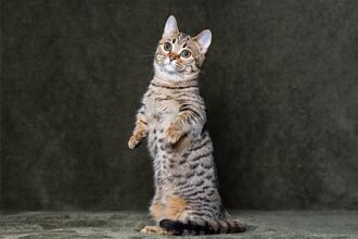 狗過世後同伴貓突用腳狂撲空氣 主人一看淚崩:牠回來了