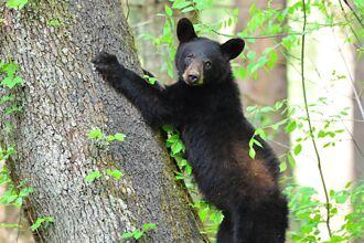 闖住宅覓食遇嬌小約克夏 黑熊嚇歪秒爬樹逃難